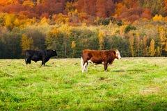 2 коровы на выгоне в ландшафте осени Стоковые Изображения