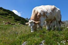 Коровы на выгоне в Альпах, Австралии Стоковое Фото