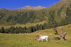 Коровы на выгоне в Альпах Стоковое Изображение RF