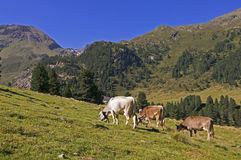 Коровы на выгоне в Альпах Стоковые Изображения RF