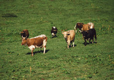 Коровы на выгоне в горах Долина освещенная с солнечным светом в summ Стоковые Изображения RF