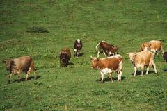 Коровы на выгоне в горах Долина освещенная с солнечным светом в summ Стоковые Фото