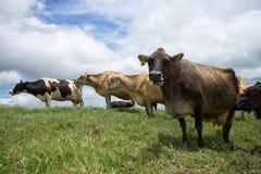 Коровы на выгоне в гористых местностях Коста-Рика Стоковое Изображение