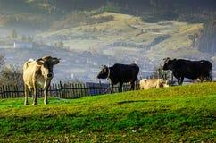 Коровы на выгоне в осени, голубые горы и старый обнести Стоковая Фотография