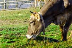 Коровы на выгоне в осени, голубые горы и старый обнести Стоковые Фото
