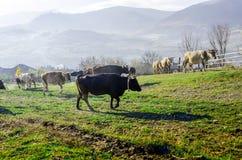 Коровы на выгоне в осени, голубые горы и старый обнести Стоковые Изображения