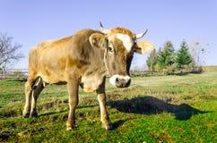 Коровы на выгоне в осени, голубые горы и старый обнести Стоковое Изображение