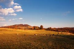 Коровы на выгоне в осени Стоковая Фотография RF