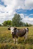 Коровы на выгоне в природе Outdoors Стоковая Фотография