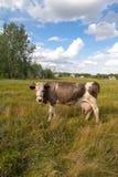 Коровы на выгоне в природе Outdoors Стоковое фото RF