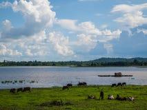 Коровы на выгоне в тайском. Стоковое Изображение RF