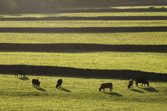 Коровы на выгоне в участках земли Йоркшире Англии Йоркшира Стоковое Изображение RF