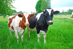 Коровы на выгоне, Германии Стоковые Фотографии RF