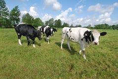 Коровы на выгоне, Германии Стоковое фото RF