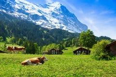 Коровы на выгоне горы Стоковое фото RF
