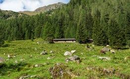 Коровы на выгоне горы Стоковая Фотография