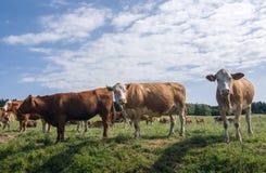 Коровы на выгоне лета Стоковые Фото