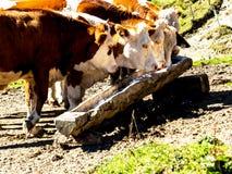 Коровы на выгоне лета Стоковое Изображение
