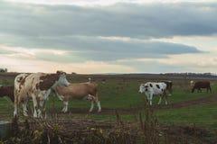 Коровы на выгоне на заходе солнца Стоковые Изображения RF