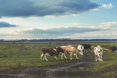 Коровы на выгоне на заходе солнца Стоковая Фотография