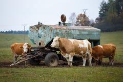 Коровы на выгоне и цистерне с водой Стоковое Изображение