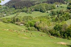 Коровы на выгоне - ландшафте весны в белых холмах Карпатов Стоковая Фотография