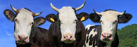 Коровы на выгоне лета Стоковое Изображение RF