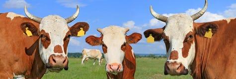 Коровы на выгоне лета Стоковые Изображения