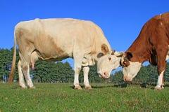 Коровы на выгоне лета Стоковые Фотографии RF