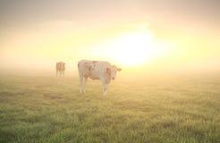 Коровы на выгоне на восходе солнца Стоковое фото RF