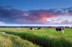 Коровы на выгоне на заходе солнца Стоковая Фотография RF