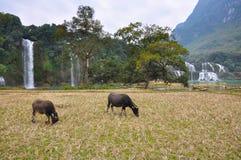 Коровы на выгоне на предпосылке водопада Стоковое Фото