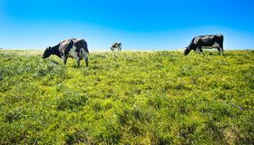 Коровы на выгоне на seashore Калифорнии nashinal reyes пункта Стоковая Фотография