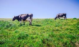 Коровы на выгоне на seashore Калифорнии nashinal reyes пункта Стоковое Фото