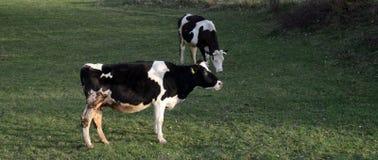 Коровы на выгоне около bitola, македонии Стоковое Изображение RF