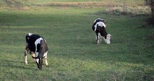 Коровы на выгоне около bitola, македонии Стоковые Фотографии RF