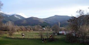 Коровы на выгоне около bitola, македонии Стоковое Изображение