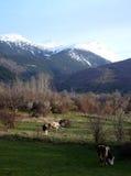 Коровы на выгоне около bitola, македонии Стоковые Изображения