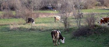 Коровы на выгоне около bitola, македонии Стоковые Изображения RF