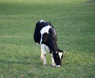 Коровы на выгоне около bitola, македонии Стоковая Фотография