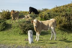 Коровы на выгоне на острове Мадейры Стоковое фото RF