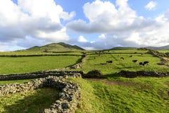 Коровы на выгоне, острове Flores, архипелаге Азорских островов (Португалия) Стоковые Фотографии RF