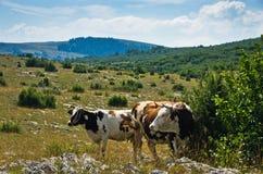 Коровы на выгоне, панорамном взгляде ландшафта плато ter ¡ PeÅ Стоковое фото RF