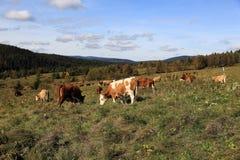 Коровы на выгоне, пейзаже в горах Sumava, Stodulky осени, чехии Стоковая Фотография RF