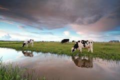 Коровы на выгоне рекой на заходе солнца Стоковые Изображения RF