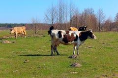 Коровы на выгоне фермы Стоковое Фото