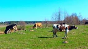Коровы на выгоне фермы Стоковые Фотографии RF