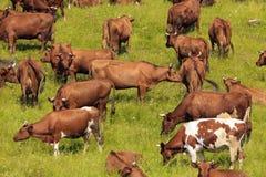 Коровы на выгоне. Стоковые Изображения RF