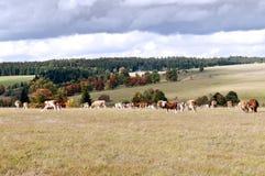 Коровы на выгоне Стоковое Изображение