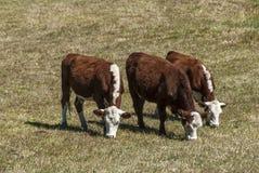 Коровы на выгоне Стоковая Фотография RF